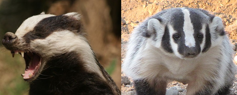 badger.png.d8c18f540efc91e5aba97df8f70bf7d9.png